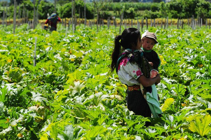 A family of Guatemalan farmers in their crop fields.